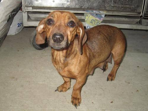 Dachshund - Baby - Small - Adult - Female - Dog