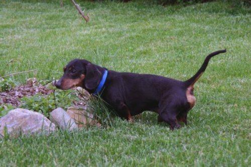 Dachshund Boggle Small Adult Male Dog For Sale In Batavia Ohio Classified