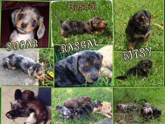 chiweenie puppies for sale in houston tx 2500 MHz Graphics