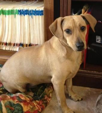 Dachshund - D.j. - Small - Baby - Male - Dog