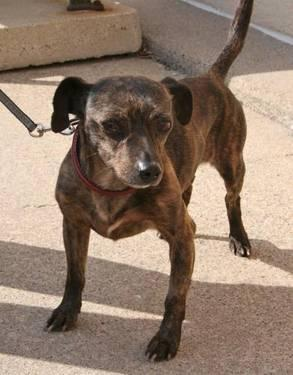 Dachshund - Dandy D130301 - Small - Adult - Male - Dog
