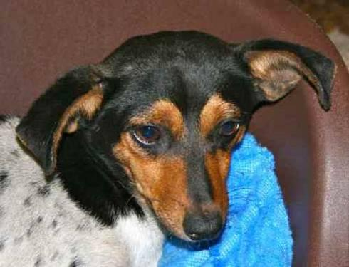 Dachshund - Diedra - Medium - Adult - Female - Dog