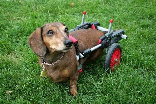 Dachshund - Foster A Dachshund - Small - Adult - Female