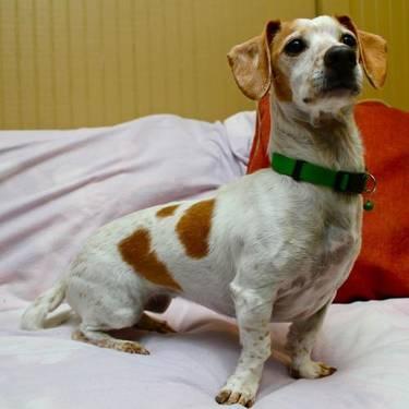 Dachshund - Jules - Medium - Adult - Female - Dog