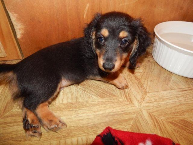 DACHSHUND (mini) Black and English Cream Long Hair