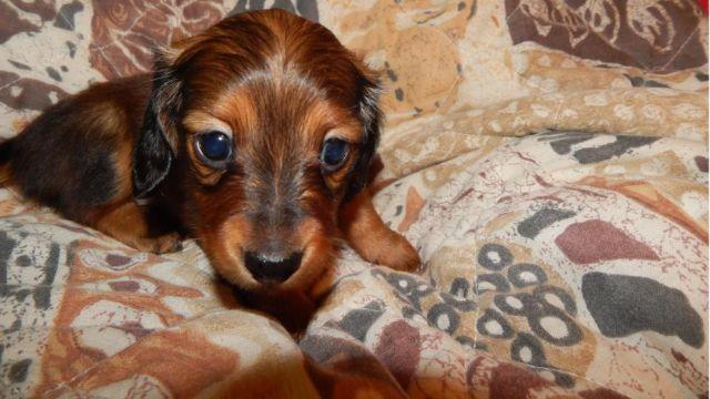 DACHSHUND MINI, GORGEOUS SHADED RED LONGHAIR GIRL