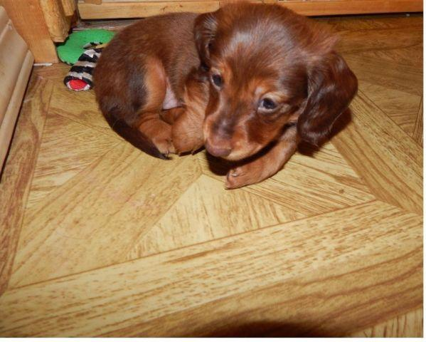 DACHSHUND MINI LONGHAIR, HANDSOME CHOCOLATE BASED RED