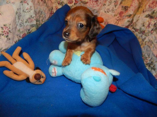 DACHSHUND MINI LONGHAIR RED DAPPLE BOY (tiny)