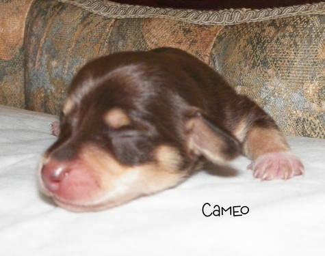 Dachshund Mini Puppies For Sale For Sale In Dunbar Pennsylvania