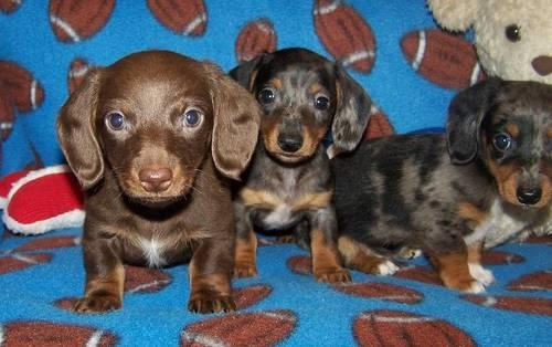 DACHSHUND mini pups