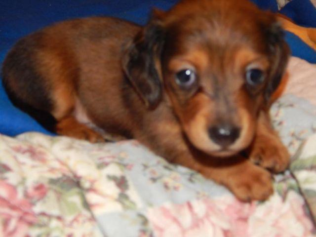Dachshund Mini (very tiny) Cutest Longhair little Red