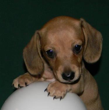Miniature Dachshund Pets And Animals For Sale In The Usa Puppy And