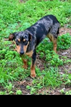 Dachshund Mr Brown Small Adult Male Dog For Sale In