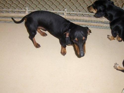Dachshund - Oscar - Small - Adult - Male - Dog