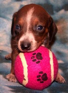 Dachshund Pup Micro Mini Adorable For Sale In Wellton Arizona
