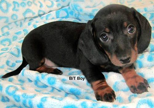 Dachshund Puppies For Sale In Jacksonville Florida Classified
