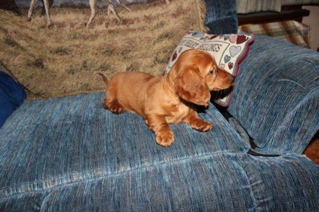 Gallery images and information: dachshund puppies for sale in iowa