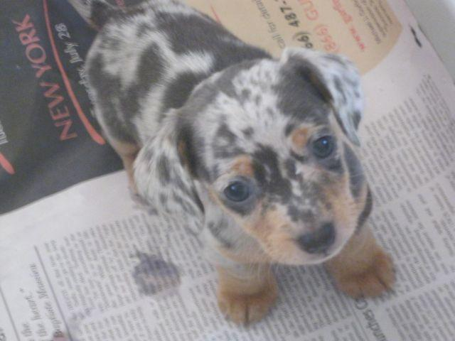 Dapple Dachshund Puppy For Sale In California Classifieds Buy