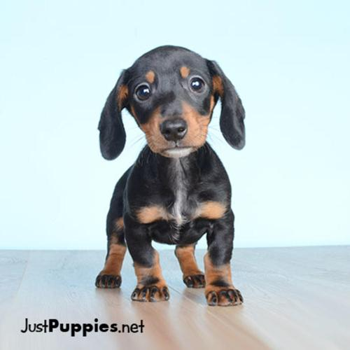 Free Puppies Pets And Animals For Sale In Orlando Florida Puppy