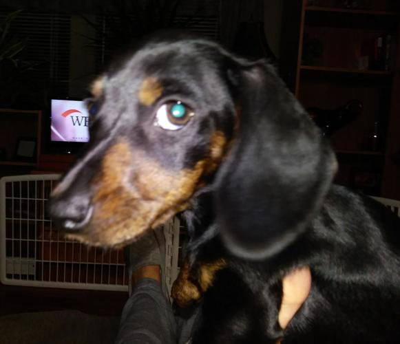 Dachshund Puppy For Sale In Sebring Florida Classified
