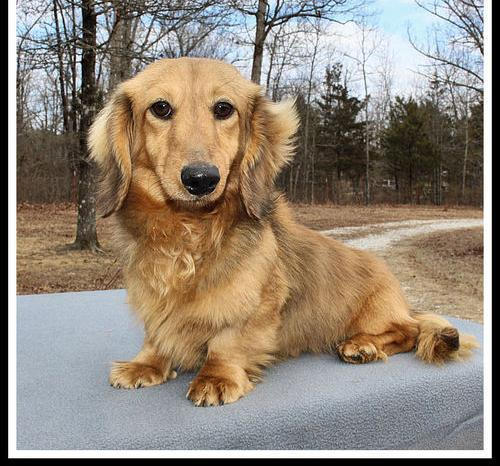 Dachshund Puppy for Sale - Adoption, Rescue for Sale in