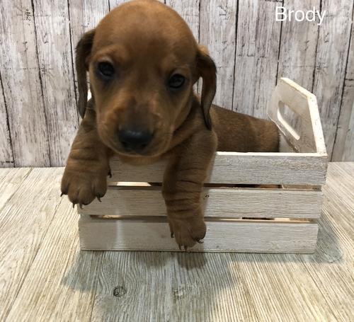Dachshund Puppy For Sale - Adoption, Rescue