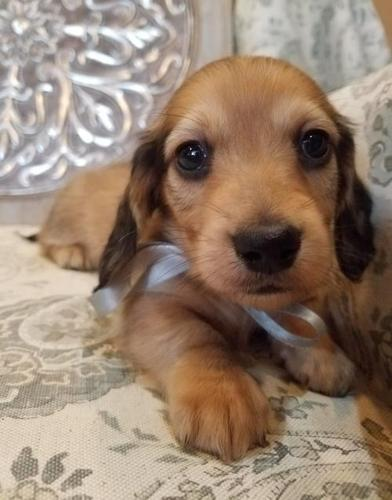 Dachshund Puppy For Sale Adoption Rescue For Sale In Ontario