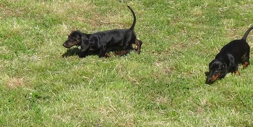 Dachshund Puppy for Sale - Adoption, Rescue