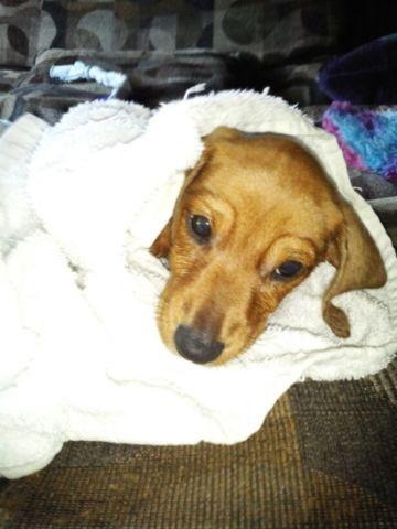 Dachshund Puppy Male For Sale In Evansville Indiana Classified