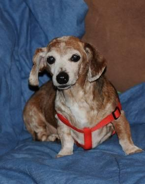 Dachshund - Ruby - Small - Adult - Female - Dog