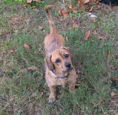 Dachshund - Toby - Small - Young - Male - Dog