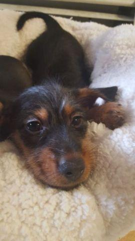 Yorkie Dachshund Mix Puppies Classifieds Buy Sell Yorkie