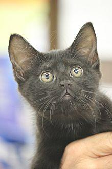 Daisy Domestic Shorthair Kitten Female