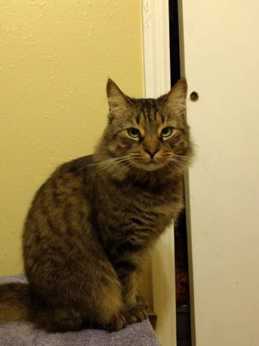 Daleford Maine Coon Adult - Adoption, Rescue