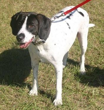 Dalmatian - Mariah - Medium - Adult - Female - Dog