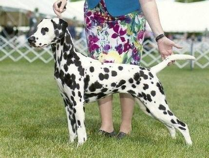 Dalmatian Puppies Pets And Animals For Sale In The Usa Puppy And