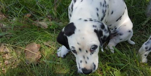 Dalmatian Puppy For Sale Adoption Rescue For Sale In Bicknell