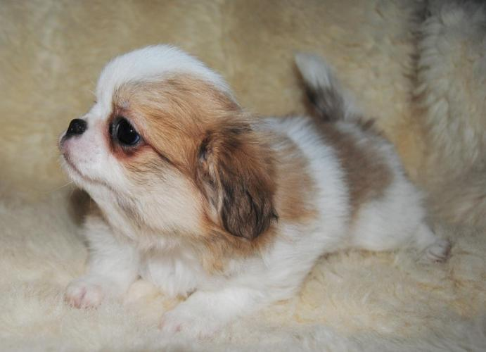 Japanese Chin For Sale In Minnesota Classifieds Buy And Sell In