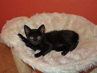 DANNY BOY Domestic Mediumhair Kitten Male