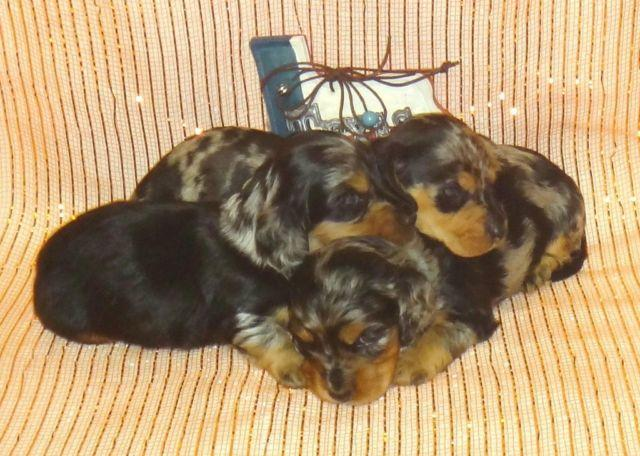 Dachshund For Sale In Texas Classifieds Buy And Sell In Texas Page