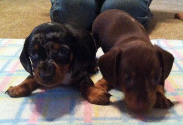 Dapple Dachshund Puppies For Sale In Obrien Florida Classified