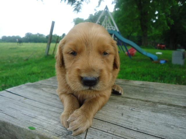 Pets And Animals For Sale In Canehill Arkansas Puppy And Kitten