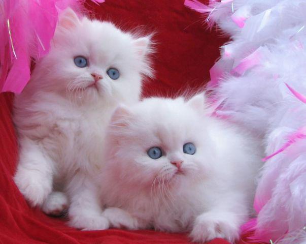 Dark Blue Eyed White Persian Kittens & Chinchills Silvers Persians