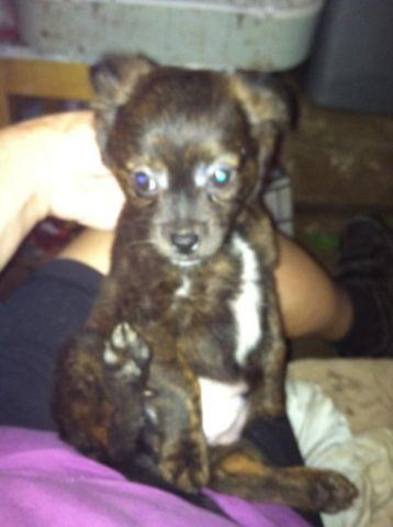 brindle chihuahua for sale dark brindle fuzzy chihuahua puppy for sale in quinlan 4827