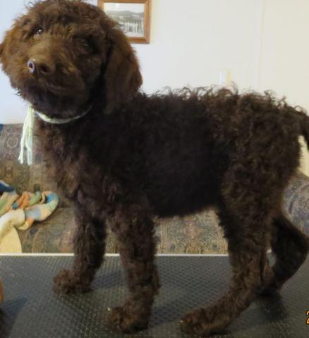 Dark Brown Female Standard Poodle Puppy For Sale In