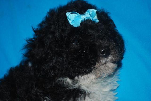 Dark Parti Poodle Pup