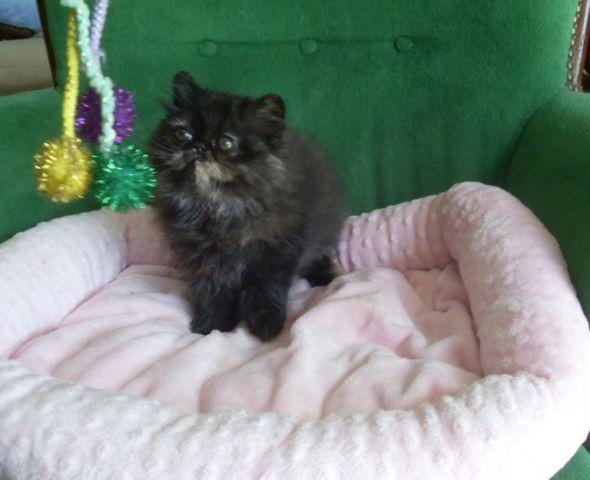 Darling 100% Persian CFA one Torti Kitten one Red Kitten