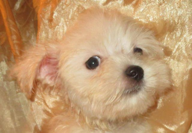 Darling Maltese Male Puppies