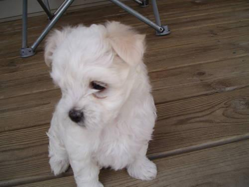 maltese breeders in michigan darling maltese puppies ready to adopt 9 weeks ready to go 4311