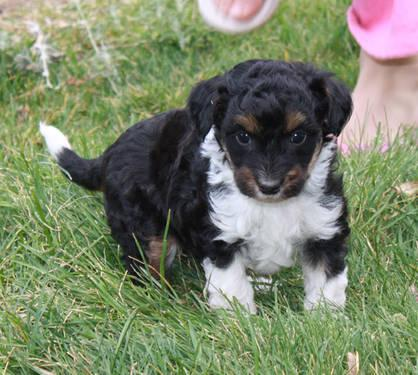 Darling Registered Mini Aussie Doodle Puppies For Sale In